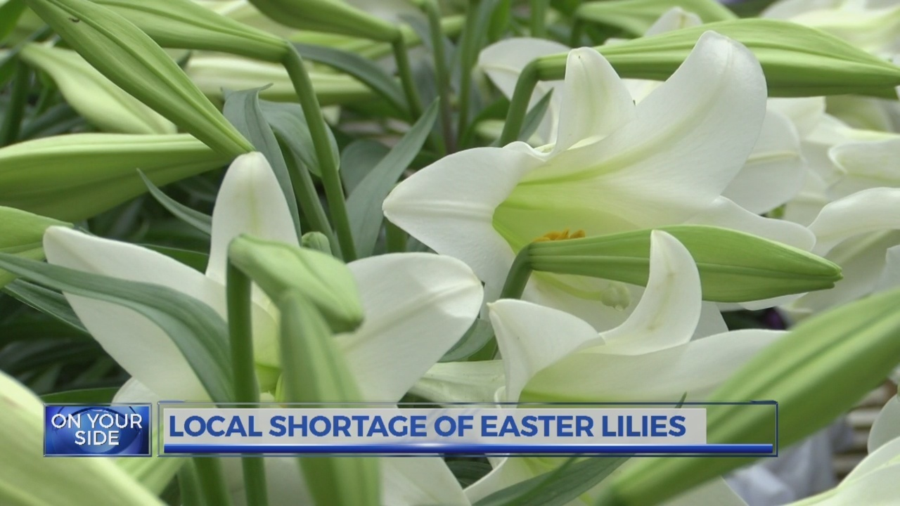 Bulb shortage affecting local easter lily sales izmirmasajfo