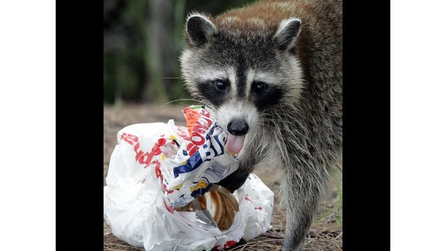 Image of: Rabies Animal Control Rabid Raccoon Discovered In Carteret County
