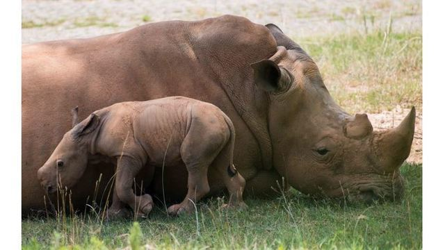 For 2nd time in less than 2 weeks, southern white rhino born at NC Zoo