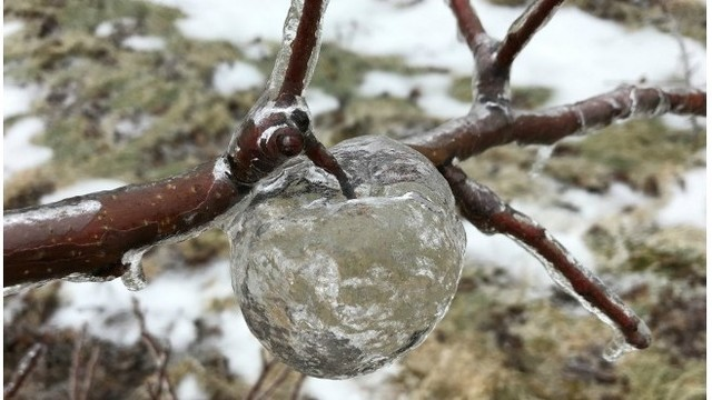 Icy rain creates 'ghost apples' in Michigan